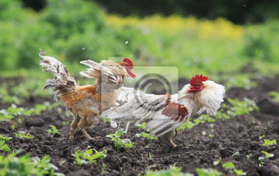 Dwóch kogutów miało walczyć o supremację w ogrodzie latem