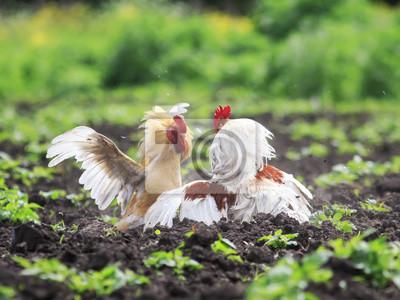Dwóch latających młodych kogutów miało walczyć o supremację latem