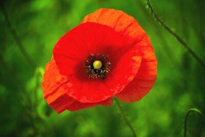 Plakat Dziki czerwony kwiat maku