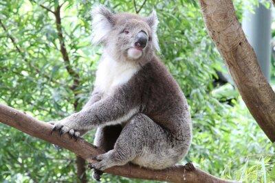 Plakat Dziki Koala Bear w Australii