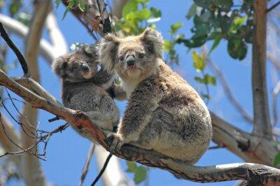 Plakat Dzikie Koale wzdłuż Great Ocean Road, Victoria, Australia