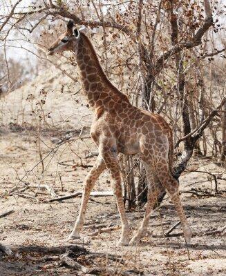 Plakat dzikie żyrafy w Parku Narodowym Krugera w RPA.