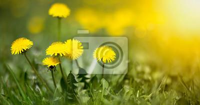 Plakat Edible fresh yellow blowball dandelion flowers, spring, summer