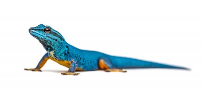 Plakat Electric blue gecko looking at the camera, Lygodactylus williams