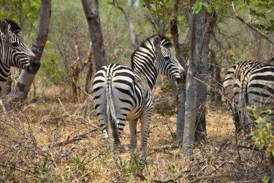 Plakat Equus guagga Plains Zebra w Hwange National Park, Zimbabwe