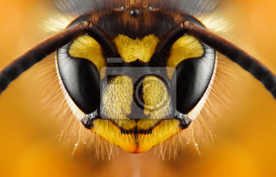 Plakat Extreme sharp and detailed study of wasp head