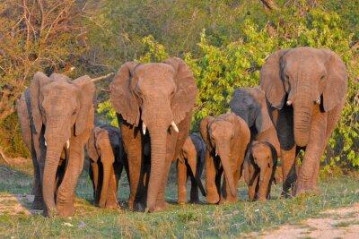 Plakat Famille d'słoni, Afrique
