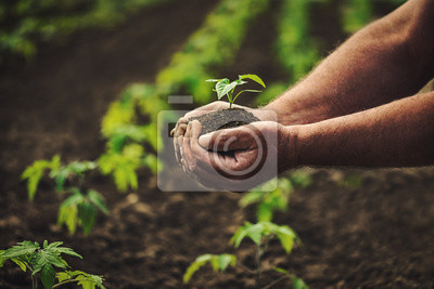 Plakat Farmer holding pepper plant in hands on field, homegrown organic vegetables