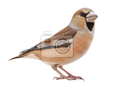 Plakat Female Hawfinch (Coccothraustes coccothraustes), isolated on white background