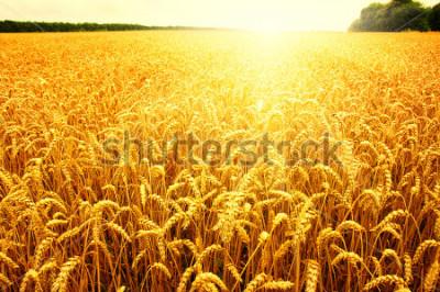 Plakat Field of wheat and sun