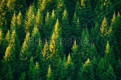Plakat fir tree forest in morning time