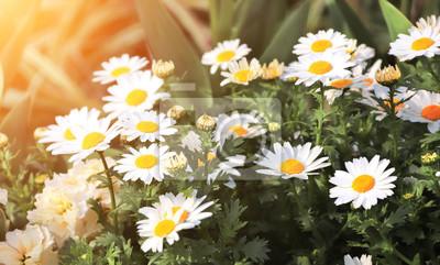 Flowers of chamomile on sunny background