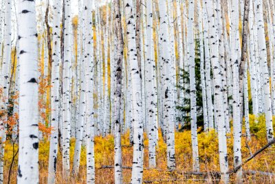 Plakat Foliage in autumn fall on Castle Creek scenic road with colorful yellow leaves on american aspen trees trunks forest in foreground in Colorado rocky mountains