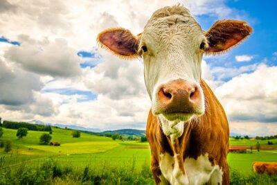 Plakat funny cow