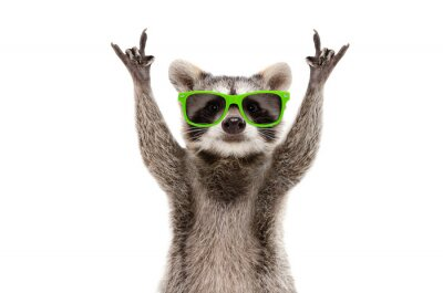 Plakat Funny raccoon in green sunglasses showing a rock gesture isolated on white background