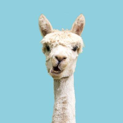 Plakat Funny white alpaca on blue background