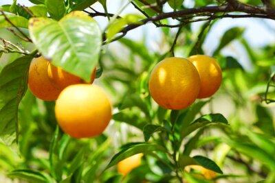 Plakat gałąź drzewa pomarańczowe owoce zielone liście w Walencji Hiszpanii