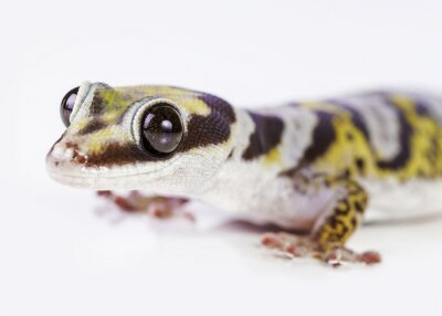 Plakat gecko portrait