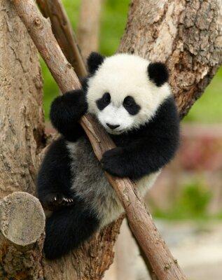 Plakat Giant dziecko panda na drzewie