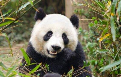 Plakat Giant Panda jedzenie bambusa, Chengdu, Chiny