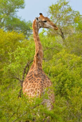 Plakat Girafe de dos, savane