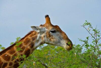 Plakat Girafe, repas d'akacji