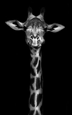 Plakat Giraffe in Black and White