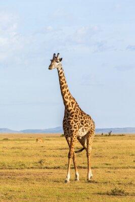 Plakat Giraffe spaceru na sawannie