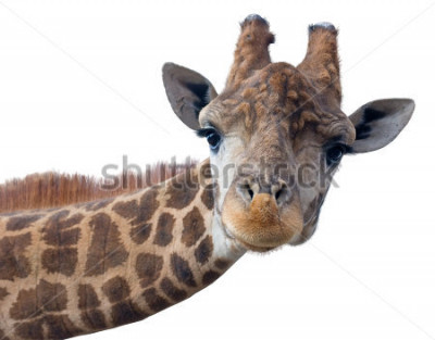 Plakat Głowa żyrafa na białym tle