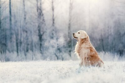 Plakat Golden Retriever sits in frost on winter day