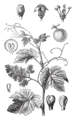 Plakat Grape vine (Vitis vinifera) / vintage illustration from Brockhaus Konversations-Lexikon 1908