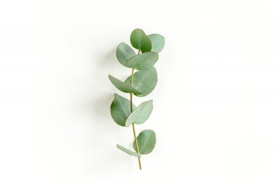 Plakat Green leaves eucalyptus isolated on white background. Flat lay, top view.