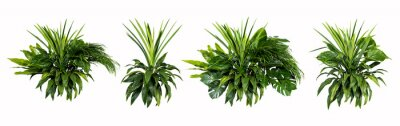 Plakat Green leaves of tropical plants bush (Monstera, palm, rubber plant, pine, bird's nest fern) floral arrangement indoors garden nature backdrop isolated on white background thailand,clipping path inclu