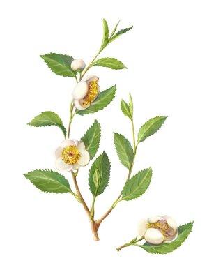 Plakat Green Tea Plant Pencil Illustration Isolated on White