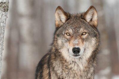 Plakat Grey Wolf (Canis lupus) Portret