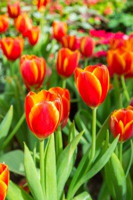 Plakat Grupa czerwonych tulipanów w parku
