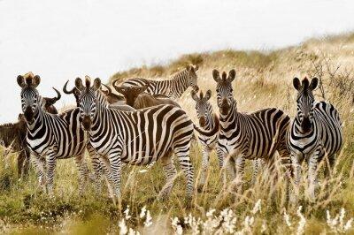 Plakat Grupa rodzina zebra