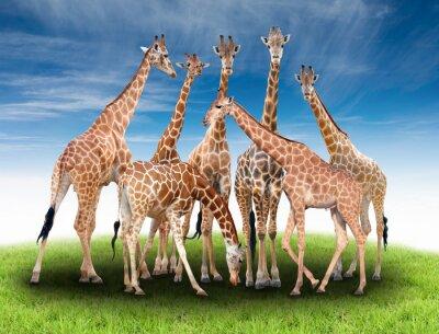 Plakat grupa żyrafy