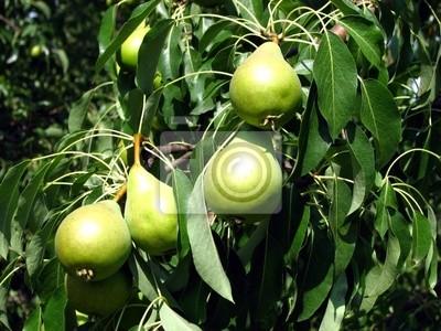 Plakat Gruszki Owoce