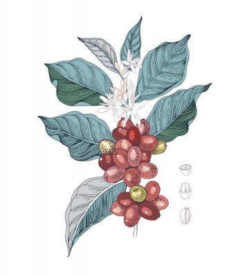 Plakat Hand drawn illustration of Coffee branch with seeds, fruits and flowers. Sketched coffee plant
