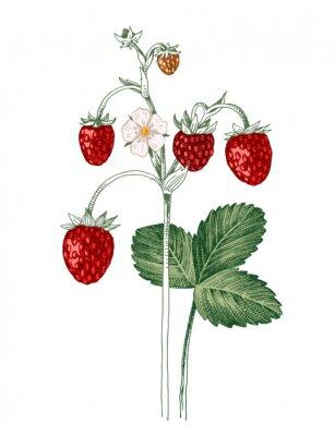 Plakat Hand drawn wild strawberry