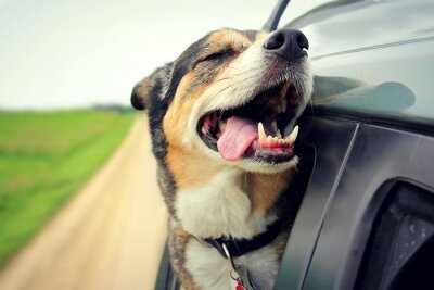 Plakat Happy Dog with Eyes Closed and Tounge Out Riding in Car