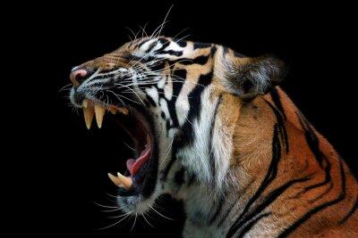 Plakat Head of sumateran tiger