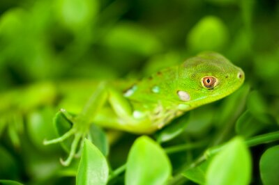 Plakat Headshot of a Baby Green Iguana