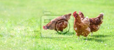 Plakat Hens on a traditional free range poultry organic farm grazing on the grass with copy space