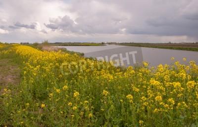 Holenderski krajobrazu wiejskiego z pola kwitnących żółty musztarda, gorczyca polna, na brzegu rzeki