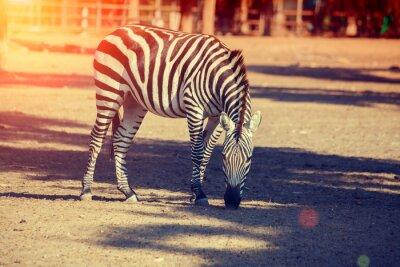 Plakat Idąc zebry w parku narodowym
