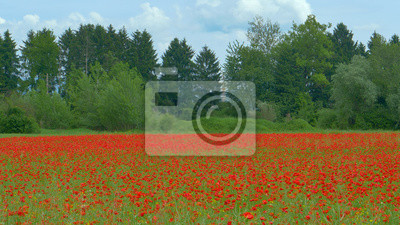 Idyllic view of the rural landscape with a poppy flower field by the calm forest