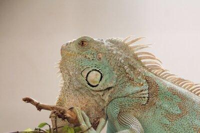Plakat Iguana