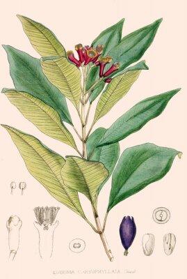 Plakat Ilustracja botanique / Eugenia caryophyllata / Giroflier / Clou de girofle